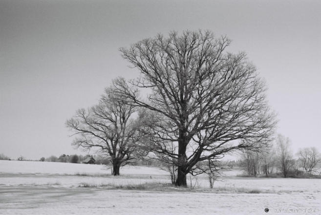 1-oak-trees-of-belarus-dzjaniski-2014-2014024-04