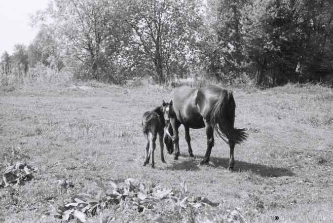11b.A Dam and Her Filly, Machul' 2014, 2014150-22A