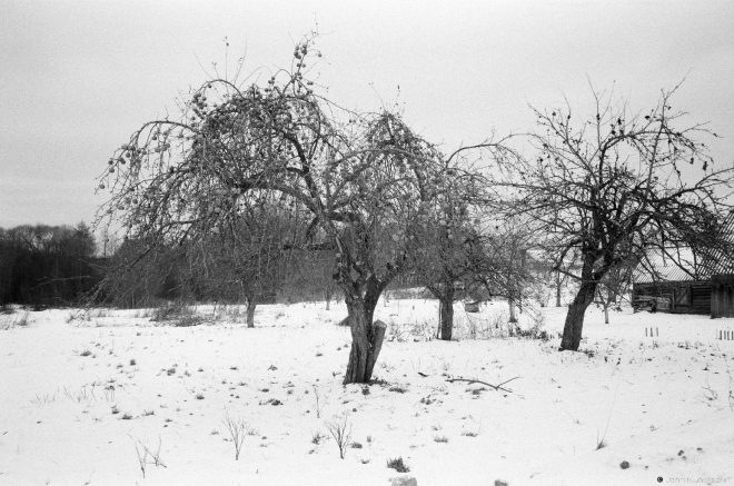 23a.Orchard with Frozen Unpicked Apples, Hajna 2016, 2016349-32A