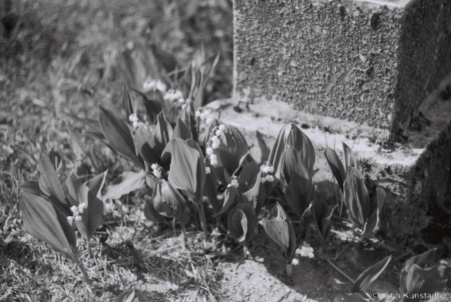 5b.Lilies-of-the-Valley (landyshy), R.C. Cemetery, Harodniki 2017, 2017119a- (F1050025