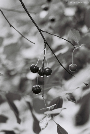 ripe-cherries-tsjerablichy-2011-2011192bf1050022